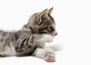 子猫のしぐさの写真素材 [FYI04581866]