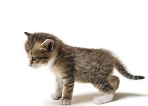 よちよち歩きの子猫の写真素材 [FYI04581867]