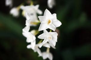 房咲き水仙の白い花の写真素材 [FYI04581970]