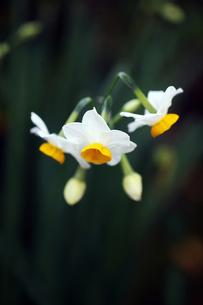 ほのかに香る日本水仙の花の写真素材 [FYI04581975]
