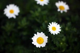 クリサンセマムの白い花の写真素材 [FYI04581983]