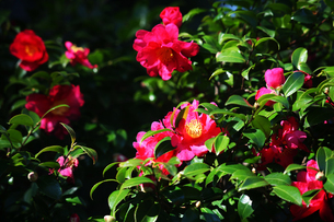 山茶花・八重咲きの花の写真素材 [FYI04581989]