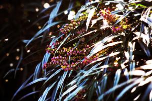 マホニアコンフューサの実の写真素材 [FYI04582013]