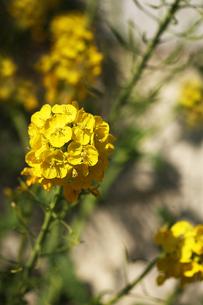 早咲きの菜の花の写真素材 [FYI04582014]