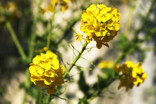 早咲きの菜の花の写真素材 [FYI04582015]