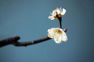 梅・緑萼の花の写真素材 [FYI04582021]