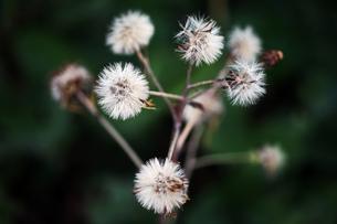 ツワブキの綿毛の写真素材 [FYI04582027]