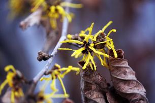 シナマンサクの花咲くの写真素材 [FYI04582030]