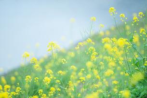 小川と菜の花の写真素材 [FYI04582033]