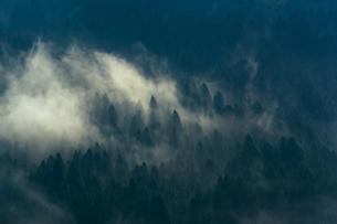 朝靄がかかる杉林の写真素材 [FYI04582045]