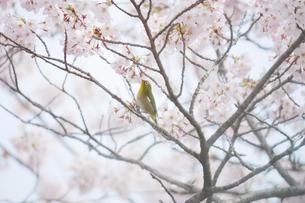 満開の桜と蜜を吸うメジロの写真素材 [FYI04582145]
