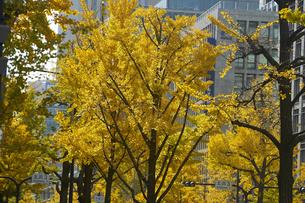 秋の御堂筋の写真素材 [FYI04582163]