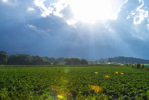 サニーレタス畑の写真素材 [FYI04583060]