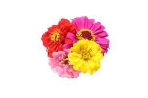 ジニアの花束の写真素材 [FYI04583506]