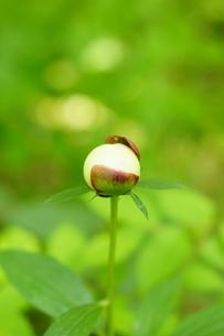 芍薬の蕾の写真素材 [FYI04583711]
