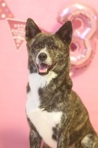 誕生日を祝う笑顔の犬の写真素材 [FYI04583716]