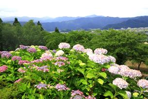 濃尾平野を見下ろす水滴がきれいな紫陽花の花の写真素材 [FYI04583938]