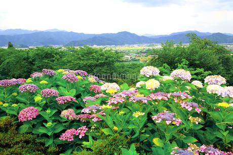 濃尾平野を見下ろす水滴がきれいな紫陽花の花の写真素材 [FYI04583940]