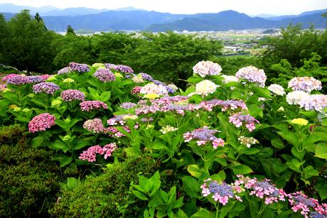 濃尾平野を見下ろす水滴がきれいな紫陽花の葉の写真素材 [FYI04583942]