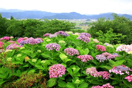 濃尾平野を見下ろす水滴がきれいな紫陽花の花の写真素材 [FYI04583944]