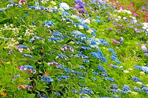 ガクアジサイの青色が印象的な弓削寺の初夏の写真素材 [FYI04583954]