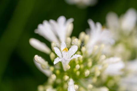 雨に咲く白いアガパンサスの写真素材 [FYI04584283]