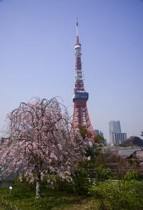 芝公園よりシダレサクラと塔体塗装工事中の東京タワーの写真素材 [FYI04584516]
