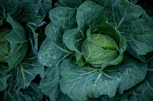 Fresh cabbages in field.Organic cabbages in early morning.の写真素材 [FYI04584572]