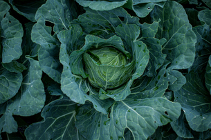 Fresh cabbages in field.Organic cabbages in early morning.の写真素材 [FYI04584574]