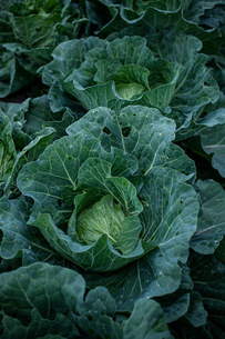 Fresh cabbages in field.Organic cabbages in early morning.の写真素材 [FYI04584576]