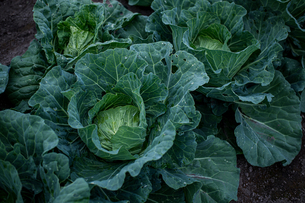 Fresh cabbages in field.Organic cabbages in early morning.の写真素材 [FYI04584579]