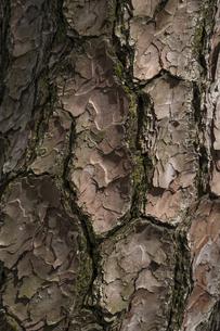 松の木の表皮の写真素材 [FYI04584580]