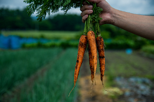 Bunch of fresh carrots in man's hands.Organic carrots in early morning.の写真素材 [FYI04584581]