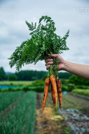 Bunch of fresh carrots in man's hands.Organic carrots in early morning.の写真素材 [FYI04584582]