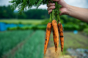 Bunch of fresh carrots in man's hands.Organic carrots in early morning.の写真素材 [FYI04584583]