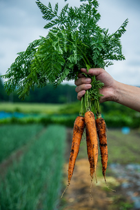 Bunch of fresh carrots in man's hands.Organic carrots in early morning.の写真素材 [FYI04584584]