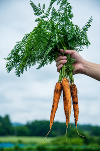 Bunch of fresh carrots in man's hands.Organic carrots in early morning.の写真素材 [FYI04584585]