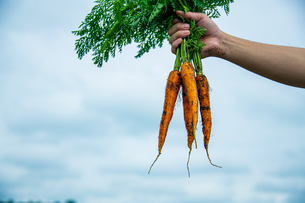 Bunch of fresh carrots in man's hands.Organic carrots in early morning.の写真素材 [FYI04584586]