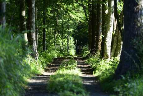 森林の中の轍の写真素材 [FYI04584726]
