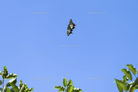 青空の下じゃれ合う2匹のアゲハ蝶の写真素材 [FYI04584729]