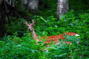 森の鹿の写真素材 [FYI04584981]