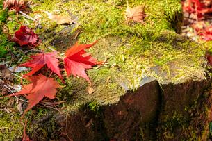 秋のえびの高原 もみじと切株 宮崎県えびの市の写真素材 [FYI04584991]