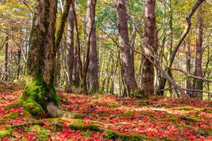 秋のえびの高原 もみじの絨毯 宮崎県えびの市の写真素材 [FYI04584994]
