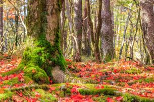 秋のえびの高原 もみじの絨毯 宮崎県えびの市の写真素材 [FYI04584995]