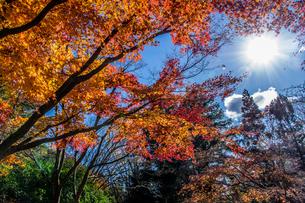 青空の元で太陽に照らされる紅葉 神戸市立森林植物園の写真素材 [FYI04585127]