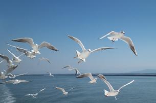 海上を飛行するカモメの写真素材 [FYI04585150]