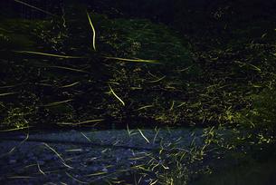 ゲンジボタルの光跡の写真素材 [FYI04585331]