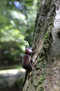 木の幹を歩き回るカブトムシの写真素材 [FYI04585613]
