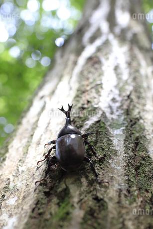 幹を上へ上へと這い登るカブトムシの写真素材 [FYI04585618]