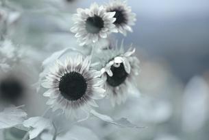 ひまわり 花写真素材の写真素材 [FYI04585622]